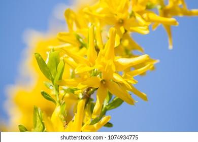 Forsythia flowers  blossom on blue sky background