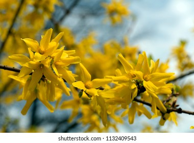 Forsythia flowers in the spring park background