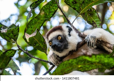 Fort Dauphin, Madagascar - oct 30 2016 : A white lemur sifaka among the branches of a tree in the Nahampoana reserve near Fort Dauphin, on oct 30 2016.