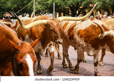 Fort Worth, TEXAS, June 19, 2017: Longhorn Cattle Drive at the stockyards of Fort Worth