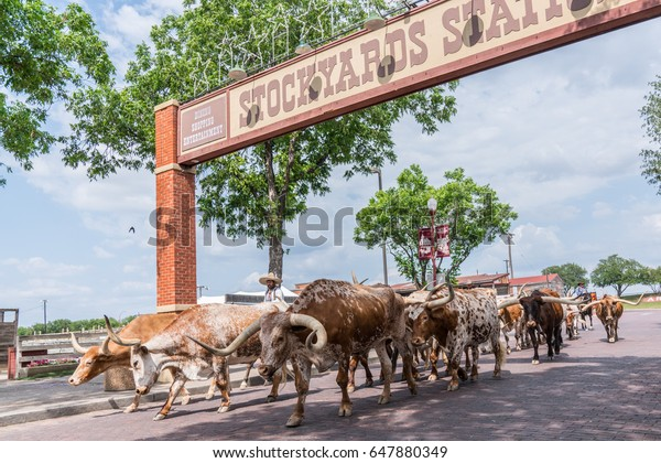 FORT WORTH, TX - MAY 11: Longhorn Cattle Drive at the stockyards of Fort Worth, Texas on May11, 2017.