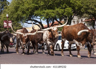 FORT WORTH, TX, USA - APR 6, 2016: Longhorn cattle drive in the Fort Worth Stockyards historic district. Texas, United States