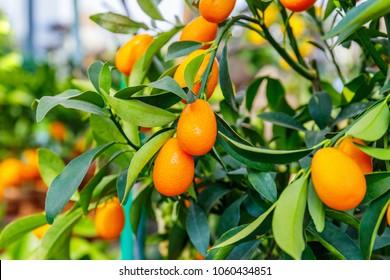 Fortunella margarita Kumquats ( or cumquats )  foliage and Oval fruits on kumquat  dwarf  tree.