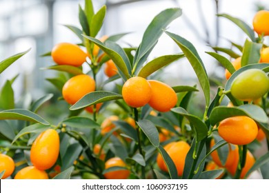 Fortunella margarita Kumquats ( or cumquats )  foliage and oval fruits on kumquat  dwarf  tree. Kumquat fruits