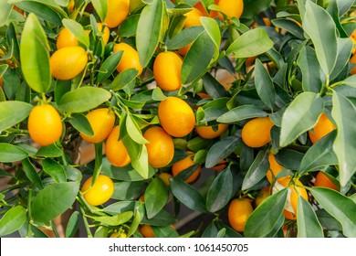 Fortunella margarita Kumquats ( or cumquats )  foliage and Oval fruits on kumquat  dwarf  tree