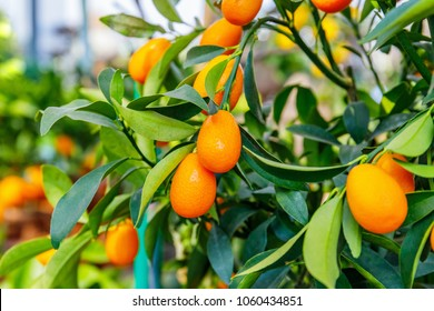 Fortunella margarita Kumquats  Oval Frusts on kumquat  dwarf  tree.