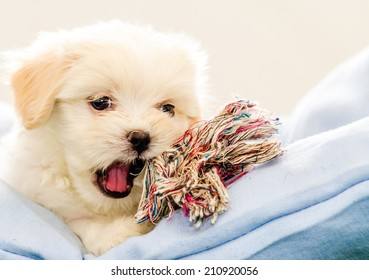 forty five days Lhasa Apso on a basket resting, grate for magazine photos!