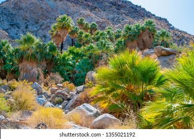 The Forty-nine Palms oasis in Joshua Tree National Park is home to native Washingtonia Fan Palms, Washingtonia  providing habitat and water for native species.