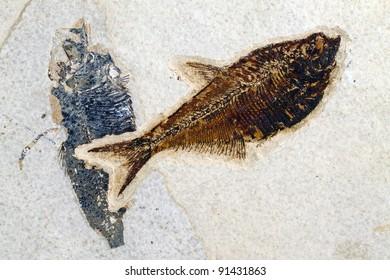 fossil of ancient fish diplomystus