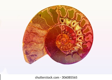 Fossil of Ancient Mollusk, Isolate background of colorful fossil shell.