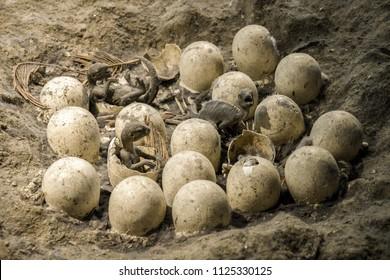 Fossil of dinosaur eggs in nest