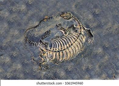 Fossil : Dinosaur fossil (Keichousaurus hui fossil , female)
