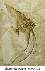 Fossil of a fish. Ceratoichthys Pinnatiformis.