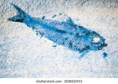 Fossil fish. Close up of blue toned prehistoric Knightia alta specimen from Eocene period alive 40 million years ago in Wyoming USA.