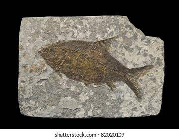 Fossil of a fish, isolated on black