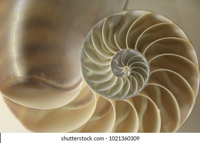 Fossil golden ratio