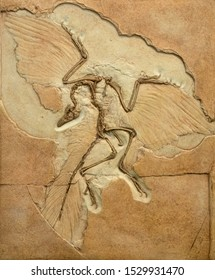 Fossil imprint of archaeopteryx showing bones and feathers.