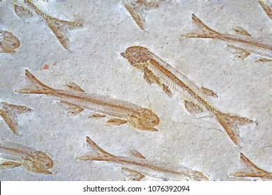Fossil : Lycoptera Fish fossil from Liaoxi China, its lived from the late Jurassic to Cretaceous periods in present-day in China