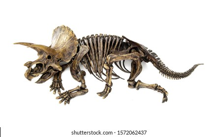 Fossil skeleton carcass of Dinosaur three horns Triceratops in position lie down isolated on white background.