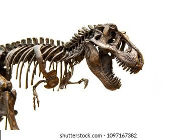 Fossil skeleton of Dinosaur king Tyrannosaurus Rex ( t-rex ) isolated on white background.