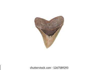 Fossil tooth of prehistoric Megalodon shark isolated on white background