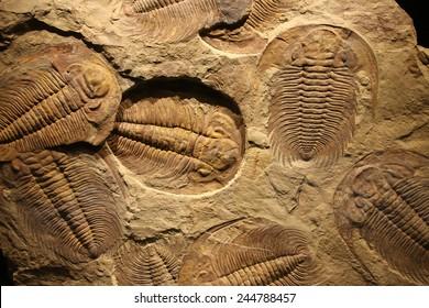 fossil trilobite imprint in the sediment