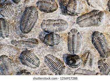 fossil trilobite imprint in stone, paleontology concept