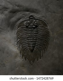 fossil of trilobite on rock