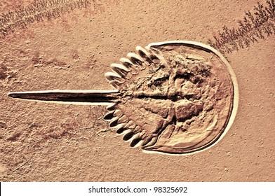 Fossilisierte Hufenkrebse. Diese Tiere gelten als lebende Fossilien, da sie sich in den 400 Millionen Jahren nicht wesentlich verändert haben.