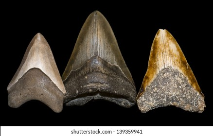 Largest megalodon tooth