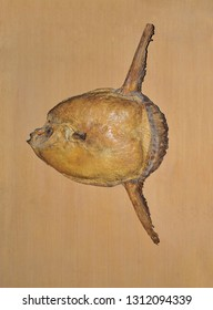 Fossils of ocean sunfish or mola mola stored in museums.