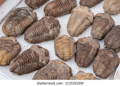 Fossils of trilobites in Ait-Ben-Haddou, in southern Morocco