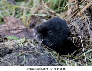 Fossorial (land living) Water Vole (Arvicola amphibius) in East End Park, Glasgow