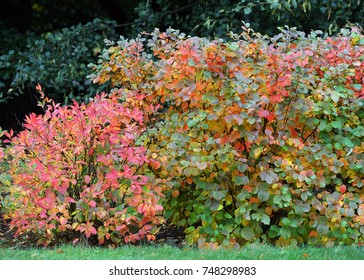 Fothergilla Mount Airy in garden hedge. Fall foliage in beautiful shades of yellow, orange and red purple leaves.