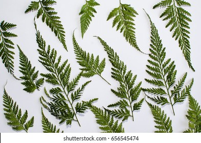 Found among palm trees,grows wildly with beautiful fractals leaves / Tropical Fern / Amazingly beautiful with megaphyll feathery leaves showing spores at the ends