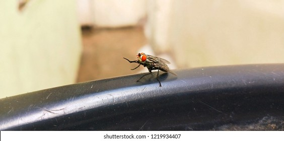 Housefly is the common fly often found in houses.The Latin name for the housefly is Musca domestica. in this picture the house fly rubbing it's two legs with each other.