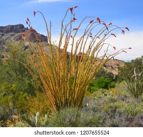 Fouquieria splendens (commonly known as ocotillo American but also referred to as coachwhip, candlewood, slimwood, desert coral, Jacob's staff, Jacob cactus, and vine cactus)