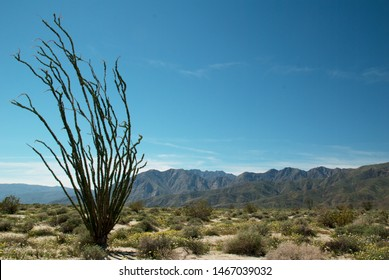 Fouquieria splendens (ocotillo) stands alone in Anza-Borrego Desert State Park in southern California.