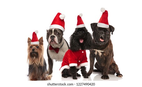 four adorable dogs of different breeds wearing santa costumes sitting and standing on white background