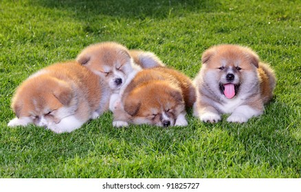 Four  Akita Inu puppy dogs on green grass