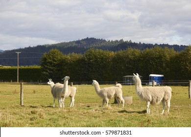 Four alpacas relaxing at the farm with mountain and trees