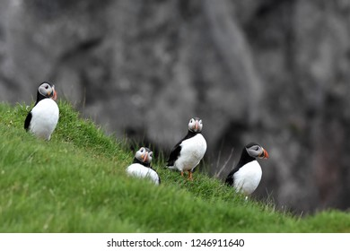Four Atlantic Puffins in Faroe Islands