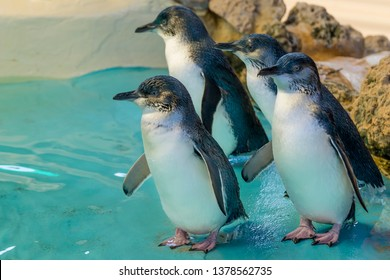 Four Australian penguins at Penguin Island, Rockingham, Western Australia