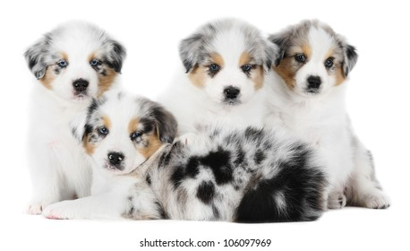 Four australian shepherd puppies in studio in white background