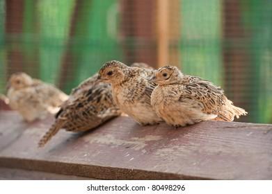 Four baby birds of pheasant on farm