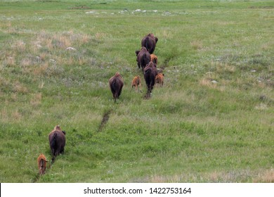 Four baby bison walk and run on a trail next to their mothers as the herd moves from one area of the prairie in Custer State Park to another.