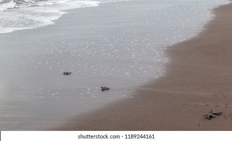 Four baby green turtles (Chelonia mydas) crawling to the ocean on the beach in Tortuguero National Park in Costa Rica.