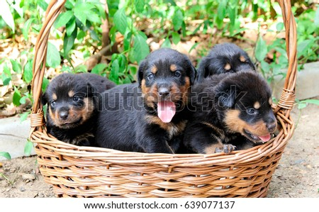 Four Baby Rottweiler Basket Cute Puppy Stock Photo Edit Now