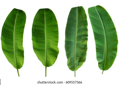 Four Banana Leaf Isolated On White with water drop