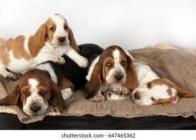 Four Basset hound puppies sleeping together